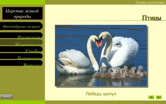 Птицы Лебедь шипун
