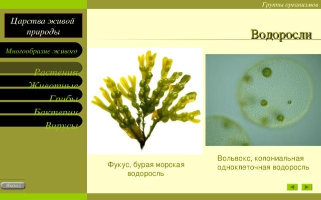 Водоросли Вольвокс, колониальная одноклеточная водоросль Фукус, бурая морская водоросль
