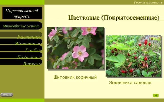Цветковые (Покрытосеменные) Шиповник коричный Земляника садовая