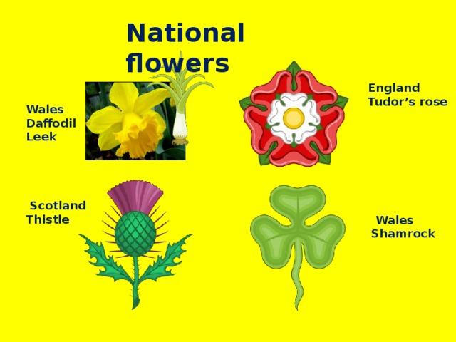 National flowers England  Tudor's rose Wales  Daffodil Leek  Scotland  Thistle  Wales  Shamrock