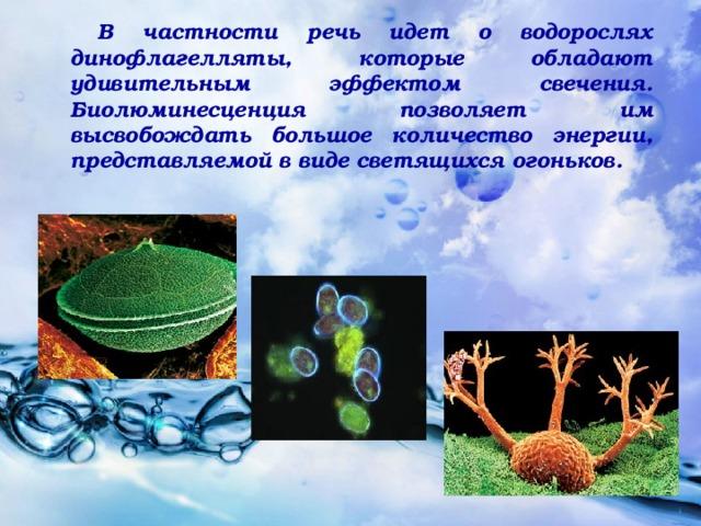 В частности речь идет о водорослях динофлагелляты, которые обладают удивительным эффектом свечения. Биолюминесценция позволяет им высвобождать большое количество энергии, представляемой в виде светящихся огоньков.