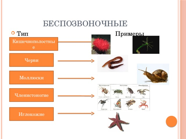 Беспозвоночные Тип Примеры Кишечнополостные Черви Моллюски Членистоногие Иглокожие