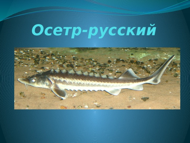 Осетр-русский