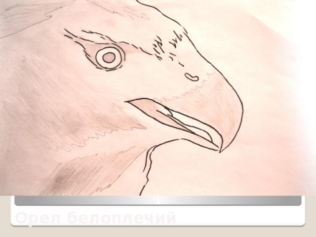 Орел белоплечий