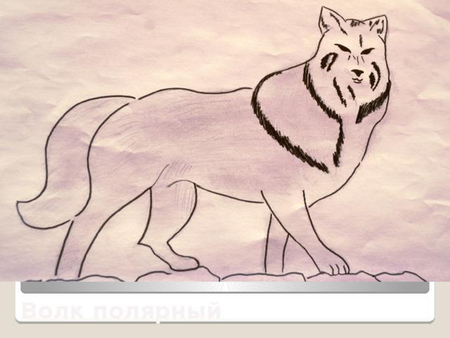 Волк полярный
