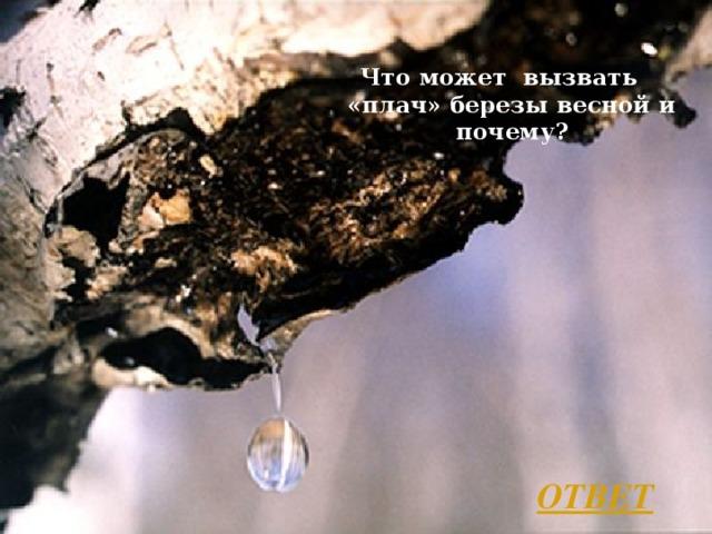 Что может вызвать «плач» березы весной и почему? ОТВЕТ Л.А. Гладкова