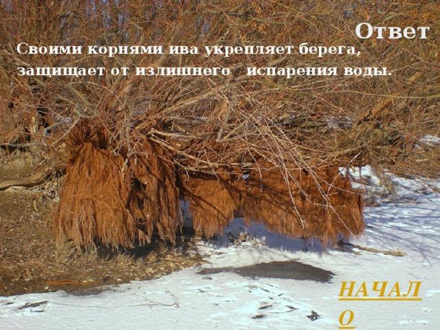 Ответ Своими корнями ива укрепляет берега, защищает от излишнего испарения воды. НАЧАЛО Л.А. Гладкова