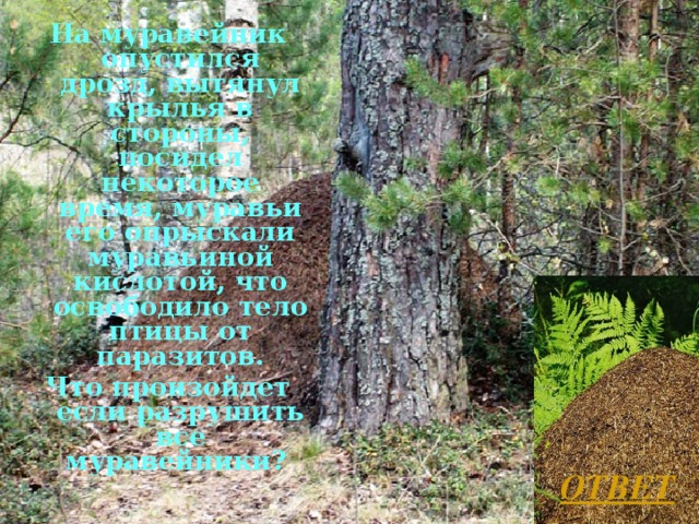 На муравейник опустился дрозд, вытянул крылья в стороны, посидел некоторое время, муравьи его опрыскали муравьиной кислотой, что освободило тело птицы от паразитов. Что произойдет если разрушить все муравейники?  ОТВЕТ Л.А. Гладкова