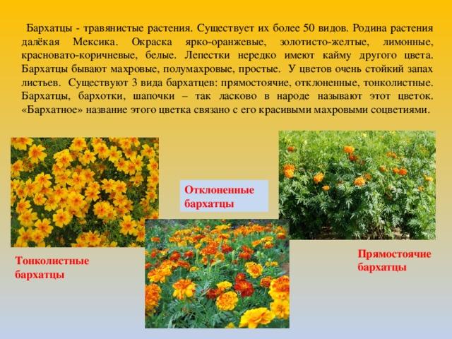 Бархатцы - травянистые растения. Существует их более 50 видов. Родина растения далёкая Мексика. Окраска ярко-оранжевые, золотисто-желтые, лимонные, красновато-коричневые, белые. Лепестки нередко имеют кайму другого цвета. Бархатцы бывают махровые, полумахровые, простые. У цветов очень стойкий запах листьев. Существуют 3 вида бархатцев: прямостоячие, отклоненные, тонколистные. Бархатцы, бархотки, шапочки – так ласково в народе называют этот цветок. «Бархатное» название этого цветка связано с его красивыми махровыми соцветиями. Отклоненные бархатцы Прямостоячие бархатцы Тонколистные бархатцы