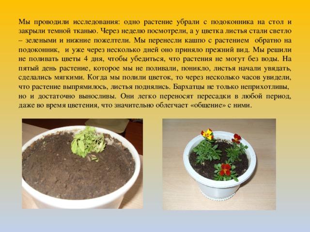 Мы проводили исследования: одно растение убрали с подоконника на стол и закрыли темной тканью. Через неделю посмотрели, а у цветка листья стали светло – зелеными и нижние пожелтели. Мы перенесли кашпо с растением обратно на подоконник, и уже через несколько дней оно приняло прежний вид. Мы решили не поливать цветы 4 дня, чтобы убедиться, что растения не могут без воды. На пятый день растение, которое мы не поливали, поникло, листья начали увядать, сделались мягкими. Когда мы полили цветок, то через несколько часов увидели, что растение выпрямилось, листья поднялись. Бархатцы не только неприхотливы, но и достаточно выносливы.  Они легко переносят пересадки в любой период, даже во время цветения, что значительно облегчает «общение» с ними.