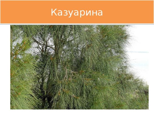 Казуарина