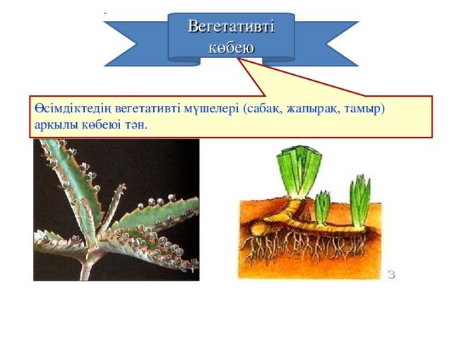 Өсімдіктедің вегетативті мүшелері (сабақ, жапырақ, тамыр) арқылы көбеюі тән.  Вегетативті көбею
