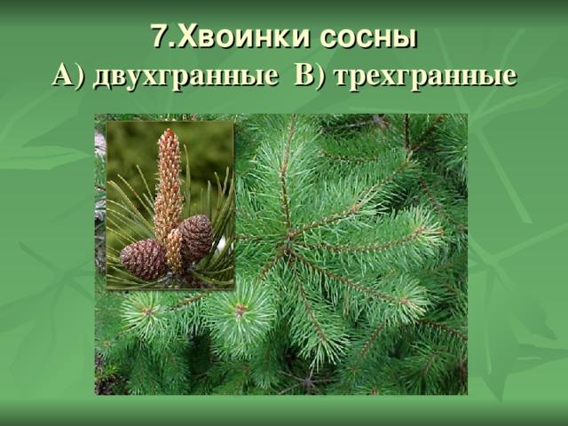 7.Хвоинки сосны  А) двухгранные В) трехгранные