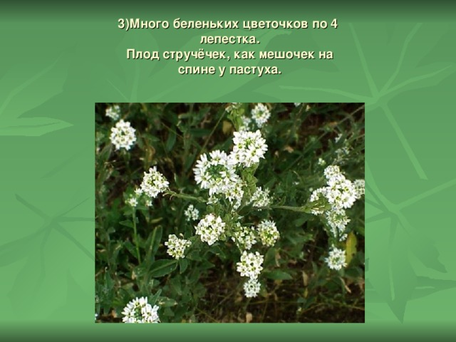 3)Много беленьких цветочков по 4  лепестка.  Плод стручёчек, как мешочек на  спине у пастуха.