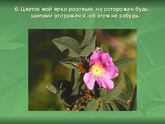 6. Цветок мой ярко розовый, но осторожен будь,  шипами огорожен я, об этом не забудь.