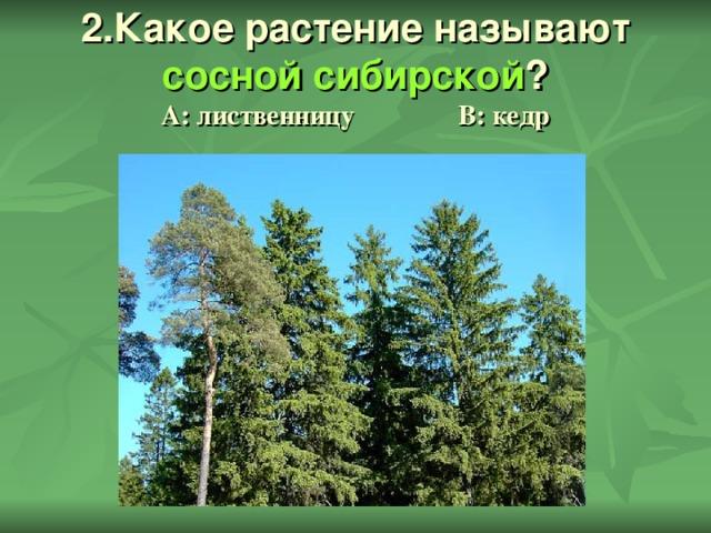 2.Какое растение называют сосной сибирской ?  А: лиственницу В: кедр