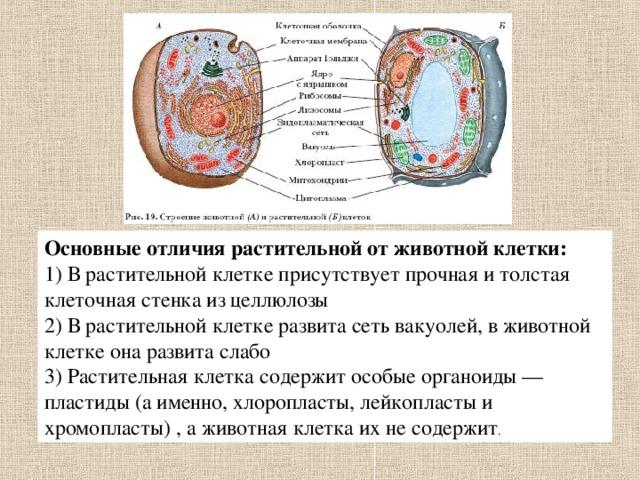 """Конспект и презентация урока по биологии на тему """"Строение ...  Вакуоль В Животной Клетке"""