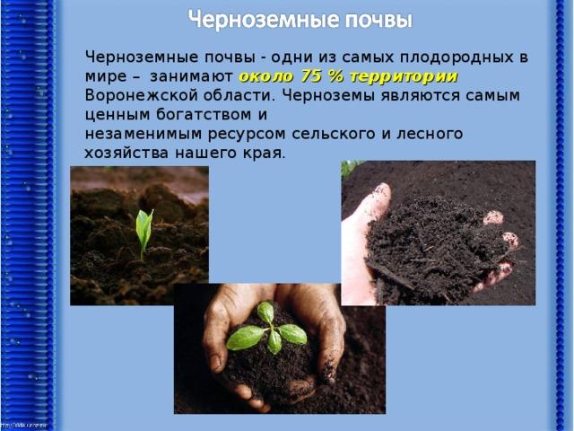 Черноземные почвы - одни из самых плодородных в мире – занимают около 75 % территории Воронежской области. Черноземы являются самым ценным богатством и незаменимымресурсомсельского и лесного хозяйства нашего края.
