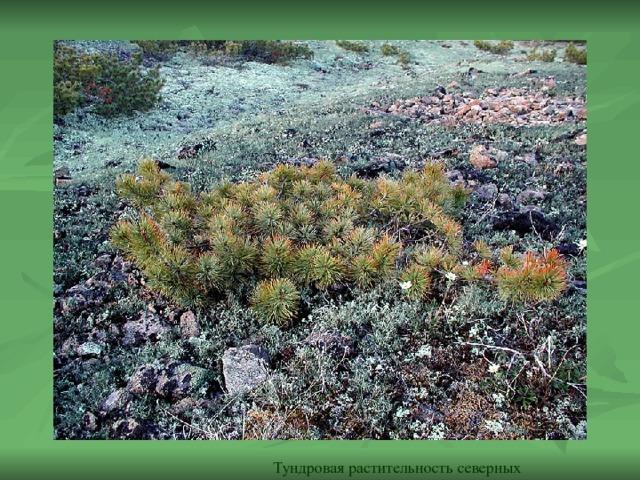 Тундровая растительность северных равнин