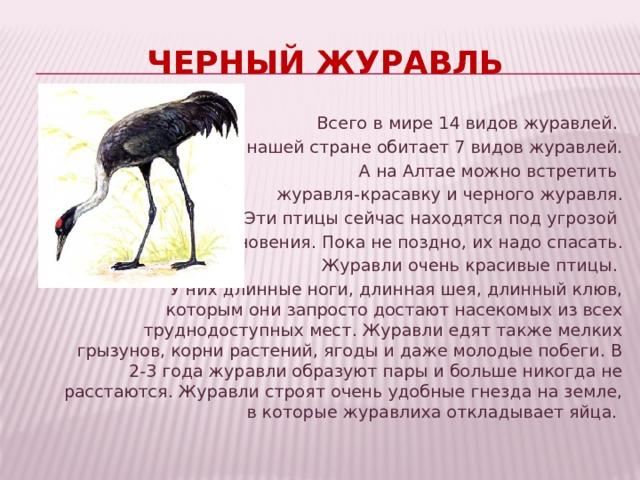 Черный журавль Всего в мире 14 видов журавлей. В нашей стране обитает 7 видов журавлей.  А на Алтае можно встретить журавля-красавку и черного журавля. Эти птицы сейчас находятся под угрозой исчезновения. Пока не поздно, их надо спасать.  Журавли очень красивые птицы. У них длинные ноги, длинная шея, длинный клюв, которым они запросто достают насекомых из всех труднодоступных мест. Журавли едят также мелких грызунов, корни растений, ягоды и даже молодые побеги. В 2-3 года журавли образуют пары и больше никогда не расстаются. Журавли строят очень удобные гнезда на земле, в которые журавлиха откладывает яйца.