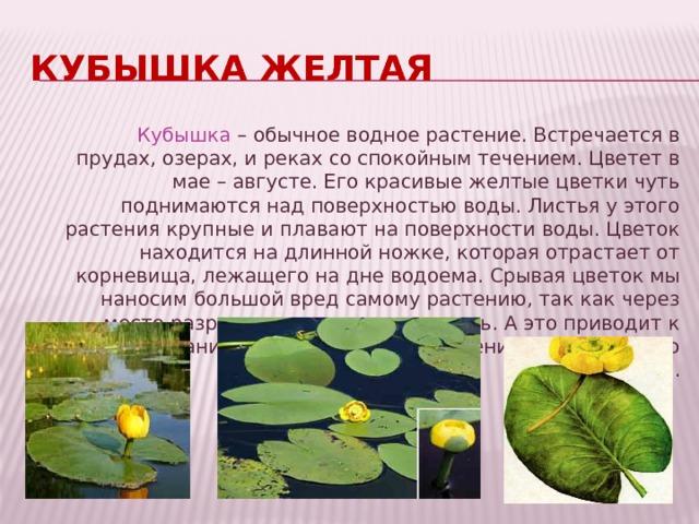 Кубышка желтая Кубышка – обычное водное растение. Встречается в прудах, озерах, и реках со спокойным течением. Цветет в мае – августе. Его красивые желтые цветки чуть поднимаются над поверхностью воды. Листья у этого растения крупные и плавают на поверхности воды. Цветок находится на длинной ножке, которая отрастает от корневища, лежащего на дне водоема. Срывая цветок мы наносим большой вред самому растению, так как через место разрыва вода попадает внутрь. А это приводит к загниванию подводной части растения и гибели всего растения.