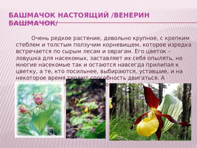 Башмачок настоящий /Венерин башмачок/ Очень редкое растение, довольно крупное, с крепким стеблем и толстым ползучим корневищем, которое изредка встречается по сырым лесам и оврагам. Его цветок – ловушка для насекомых, заставляет их себя опылять, но многие насекомые так и остаются навсегда прилипая к цветку, а те, кто посильнее, выбираются, уставшие, и на некоторое время теряют способность двигаться. А страдает растение из-за своего красивого цветка.