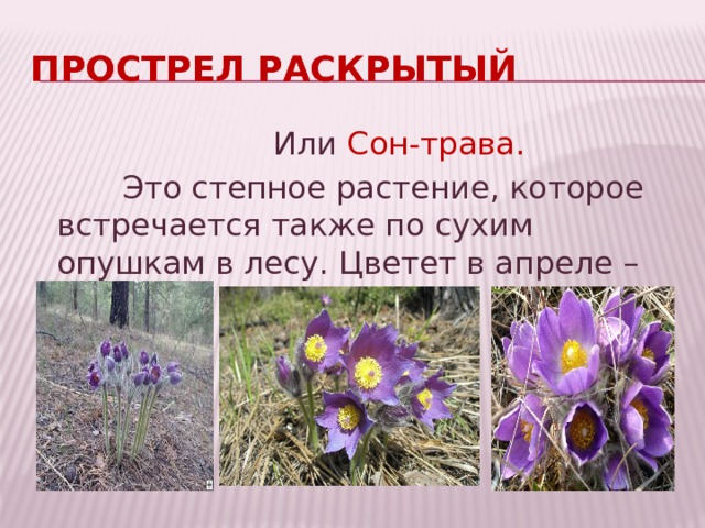 Прострел раскрытый Или Сон-трава.  Это степное растение, которое встречается также по сухим опушкам в лесу. Цветет в апреле – мае.
