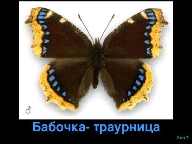 Бабочка- траурница  из 7
