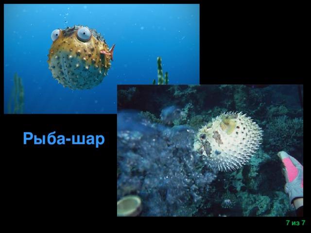 Рыба-шар  из 7