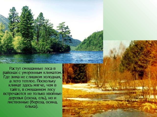 Растут смешанные леса в районах с умеренным климатом. Где зима не слишком холодная, а лето теплое. Поскольку климат здесь мягче, чем в тайге, в смешанном лесу встречаются не только хвойные деревья (сосна, ель), но и лиственные (береза, осина, ольха).