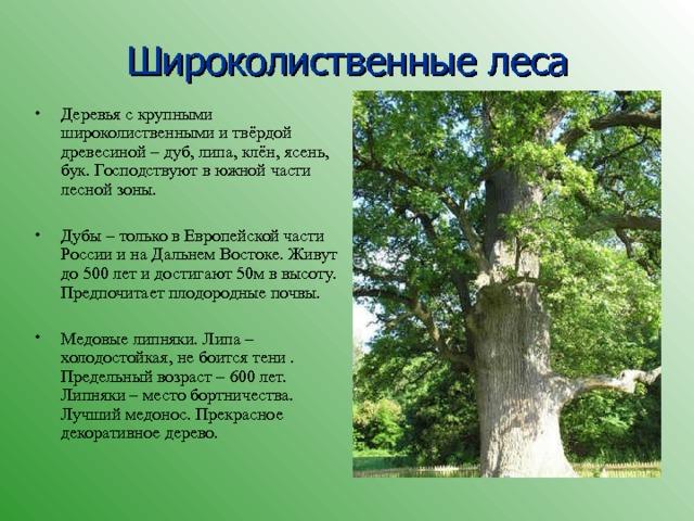 Широколиственные леса Деревья с крупными широколиственными и твёрдой древесиной – дуб, липа, клён, ясень, бук. Господствуют в южной части лесной зоны. Дубы – только в Европейской части России и на Дальнем Востоке. Живут до 500 лет и достигают 50м в высоту. Предпочитает плодородные почвы. Медовые липняки. Липа – холодостойкая, не боится тени . Предельный возраст – 600 лет. Липняки – место бортничества. Лучший медонос. Прекрасное декоративное дерево.