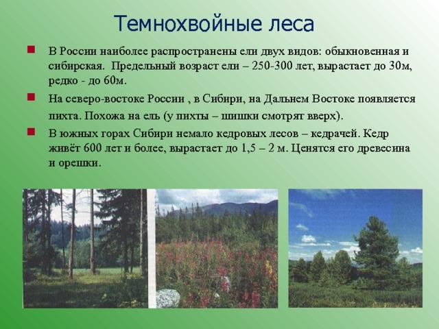 Темнохвойные леса В России наиболее распространены ели двух видов: обыкновенная и сибирская. Предельный возраст ели – 250-300 лет, вырастает до 30м, редко - до 60м. На северо-востоке России , в Сибири, на Дальнем Востоке появляется пихта. Похожа на ель (у пихты – шишки смотрят вверх).  В южных горах Сибири немало кедровых лесов – кедрачей. Кедр живёт 600 лет и более, вырастает до 1,5 – 2 м. Ценятся его древесина и орешки.