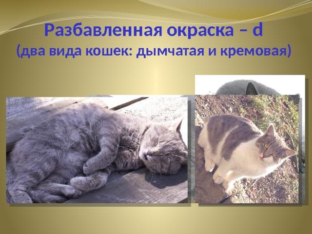 Разбавленная окраска – d  (два вида кошек: дымчатая и кремовая)