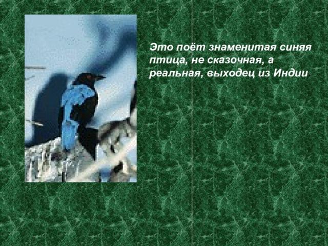 Это поёт знаменитая синяя птица, не сказочная, а реальная, выходец из Индии .