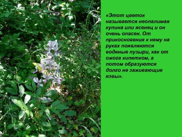 «Этот цветок называется неопалимая купина или ясенец и он очень опасен. От прикосновения к нему на руках появляются водяные пузыри, как от ожога кипятком, а потом образуются долго не заживающие язвы».