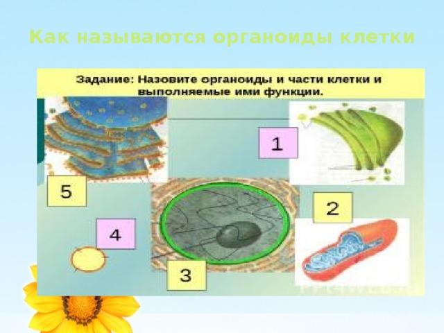 Как называются органоиды клетки