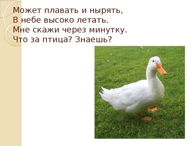 Может плавать и нырять,  В небе высоко летать.  Мне скажи через минутку.  Что за птица? Знаешь?