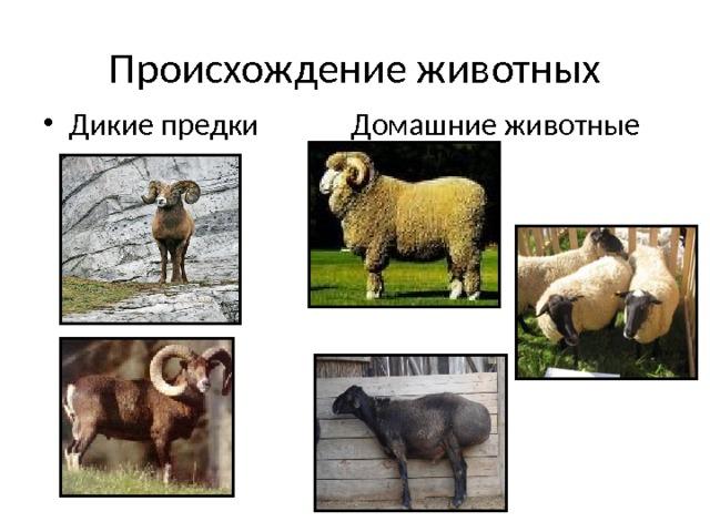 Происхождение животных Дикие предки Домашние животные