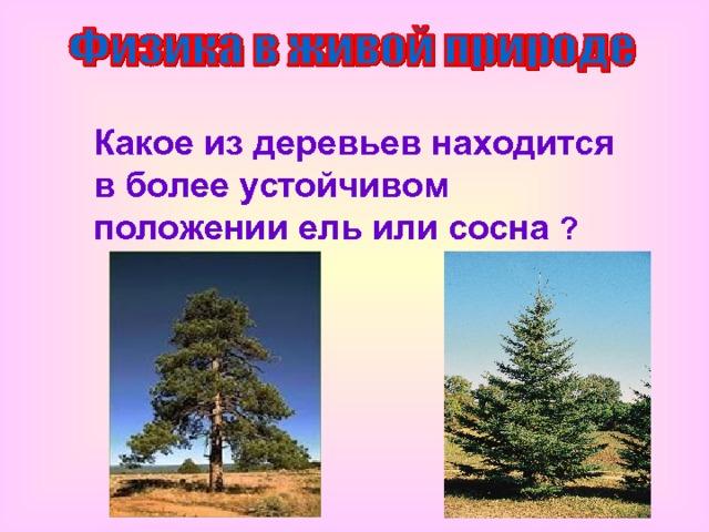 Какое из деревьев находится в более устойчивом положении ель или сосна ?