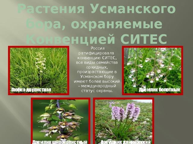 Растения Усманского бора, охраняемые  Конвенцией СИТЕС  Россия ратифицировала конвенцию СИТЕС, все виды семейства орхидных, произрастающие в Усманском бору имеют более высокий – международный статус охраны. Любка  двулистная Дремлик болотный Кокушник длиннорогий Дремлик широколистный