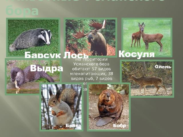 Животные Усманского бора Косуля Барсук Лось На территории Усманского бора обитают 57 видов млекопитающих, 38 видов рыб, 7 видов рептилий,  8 видов амфибий. Выдра Олень Бобр Белка