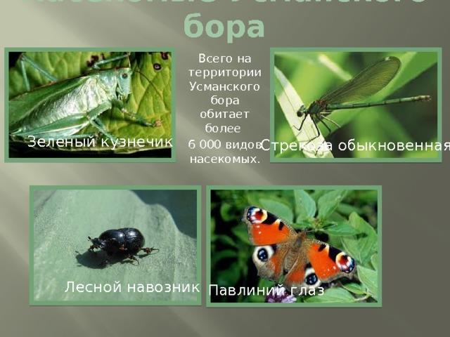 Насекомые Усманского бора Всего на территории Усманского бора обитает более 6 000 видов насекомых. Зеленый кузнечик Стрекоза обыкновенная Лесной навозник Павлиний глаз