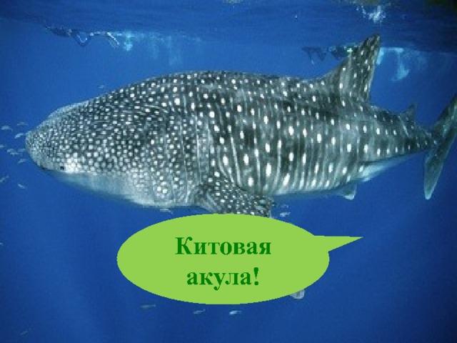 Китовая акула!