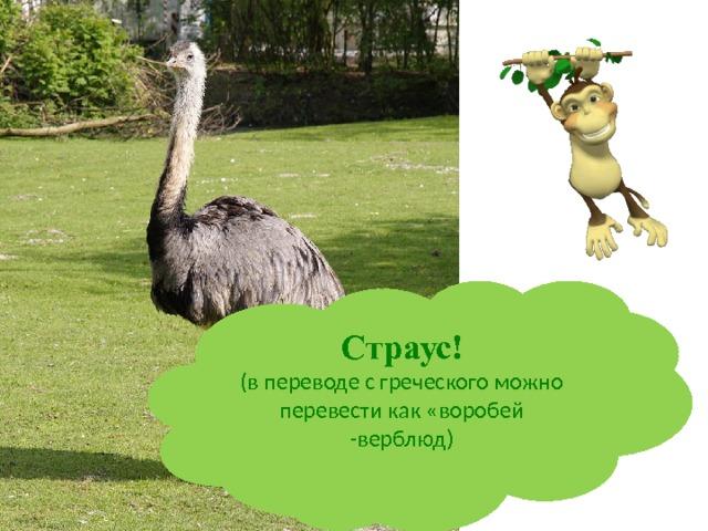 Страус! (в переводе с греческого можно перевести как «воробей -верблюд)