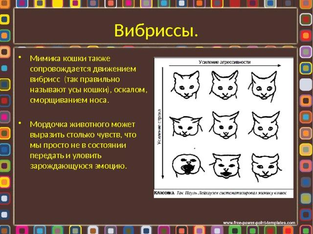 Вибриссы. Мимика кошки также сопровождается движением вибрисс (так правильно называют усы кошки), оскалом, сморщиванием носа. Мордочка животного может выразить столько чувств, что мы просто не в состоянии передать и уловить зарождающуюся эмоцию.