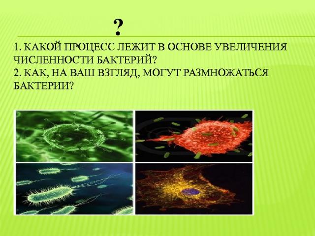 ?  1. Какой процесс лежит в основе увеличения численности бактерий?   2. Как, на ваш взгляд, могут размножаться  бактерии?