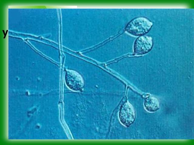 Какие биологические науки установили приведённые факты? У картофеля и томатов широко распространено заболевание – фитофтороз. Оно вызывается грибком – фитофторой . Повреждённые фитофторой клубни и плоды не пригодны в пищу.