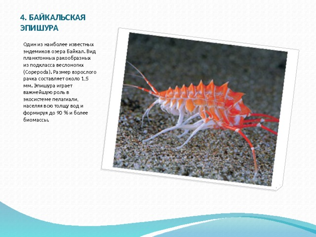 4. БАЙКАЛЬСКАЯ ЭПИШУРА Один из наиболее известных эндемиков озера Байкал. Вид планктонных ракообразных из подкласса веслоногих (Copepoda). Размер взрослого рачка составляет около 1,5 мм. Эпишура играет важнейшую роль в экосистеме пелагиали, населяя всю толщу вод и формируя до 90 % и более биомассы.