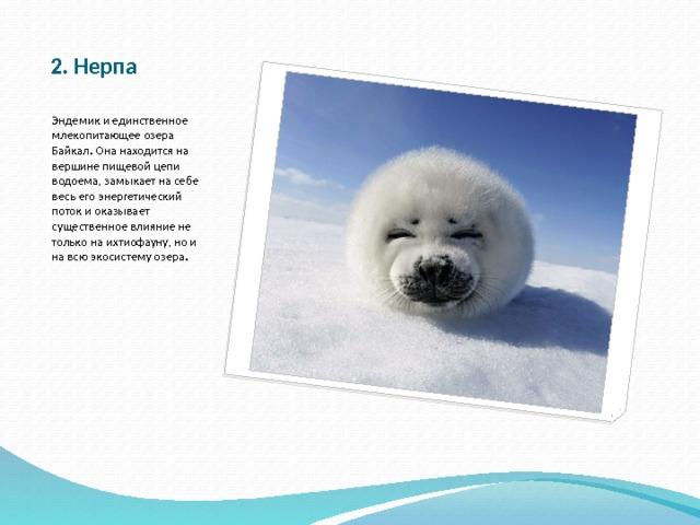 2. Нерпа Эндемик и единственное млекопитающее озера Байкал. Она находится на вершине пищевой цепи водоема, замыкает на себе весь его энергетический поток и оказывает существенное влияние не только на ихтиофауну, но и на всю экосистему озера.
