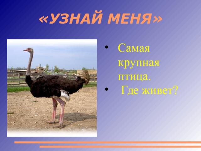 «УЗНАЙ МЕНЯ» Самая крупная птица.  Где живет?